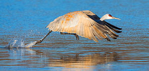Sandhill crane (Antigone canadensis) taking off, Bosque del Apache National Wildlife Refuge New Mexico, USA, November. Sequence 3 of 3  -  Jack Dykinga