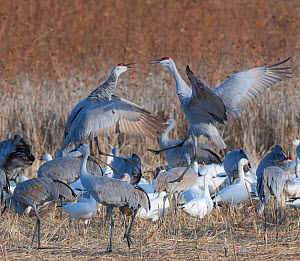 Sandhill cranes (Antigone canadensis) territorial fighting in field, Bosque del Apache, New Mexico, USA, November.  -  Jack Dykinga