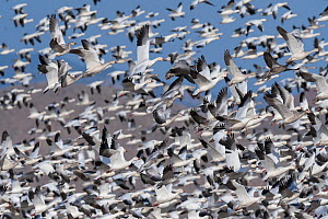 Snow geese (Anser caerulescens) flock taking off, Bosque del Apache National Wildlife Refuge New Mexico, USA, November.  -  Jack Dykinga