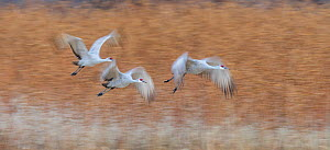 Sandhill crane (Antigone canadensis) taking off in the morning. Bosque del Apache, New Mexico.  -  Jack Dykinga