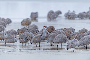 Sandhill cranes (Antigone canadensis) group in blizzard, Bosque del Apache, New Mexico, USA, November.  -  Jack Dykinga