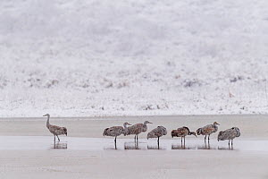 Sandhill cranes (Antigone canadensis) group of seven in blizzard, Bosque del Apache, New Mexico, USA, November.  -  Jack Dykinga