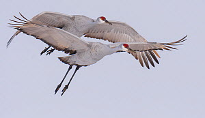 Sandhill cranes (Antigone canadensis) two in flight in winter, Bosque del Apache, New Mexico, USA, November.  -  Jack Dykinga