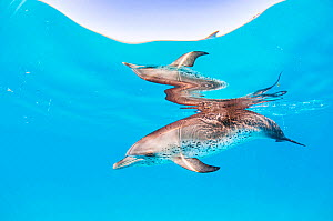 Portrait of an Atlantic spotted dolphin (Stenella frontalis) reflected at surface, off Bimini, Bahamas.  -  Shane Gross