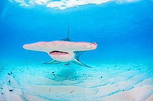 Broad head of a Great hammerhead shark (Sphyrna mokarran) swimming over a sandy seabed, Bimini, Bahamas.  -  Shane Gross