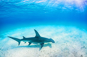 Great hammerhead shark (Sphyrna mokarran) swimming over a sandy seabed, Bimini, Bahamas  -  Shane Gross
