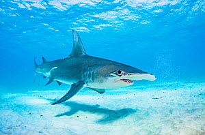 Great hammerhead shark (Sphyrna mokarran) swimming over a sandy seabed, Bimini, Bahamas.  -  Shane Gross
