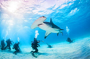 Scuba divers interact with a Great hammerhead shark (Sphyrna mokarran) in Bimini, Bahamas.  -  Shane Gross