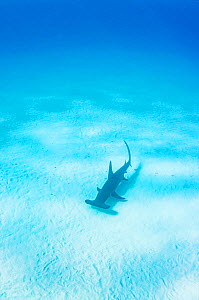 Great hammerhead shark (Sphyrna mokarran) swimming over sand seabed, The Bahamas.  -  Shane Gross