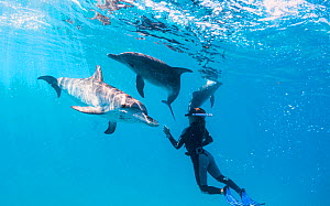 Woman snorkels with Atlantic spotted dolphins (Stenella frontalis) off Bimini, Bahamas.  -  Shane Gross
