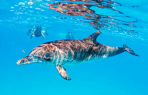 Woman snorkelling with Atlantic spotted dolphin (Stenella frontalis) off Bimini, Bahamas.  -  Shane Gross