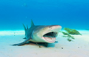 Lemon shark (Negaprion brevirostris) laying on the seabed with mouth open to be cleaned by wrasse. Grand Bahama Island, Bahamas.  -  Shane Gross