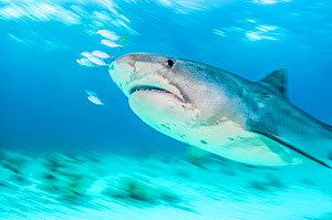 Tiger shark (Galeocerdo cuvier) with fish in front of nose. Slow shutterspeed image. Bahamas.  -  Shane Gross