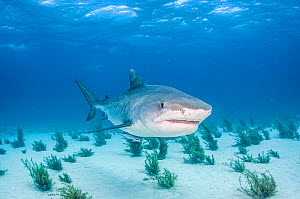 Tiger shark (Galeocerdo cuvier) in shallow waters off Grand Bahama Island, Bahamas.  -  Shane Gross