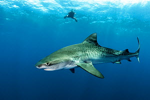 Tiger shark (Galeocerdo cuvier) in open ocean with freediver in the background. Eleuthera, Bahamas.  -  Shane Gross