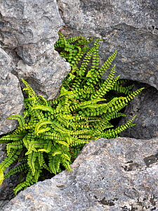 Maidenhair spleenwort (Asplenium trichomanes) growing in rock crevice, on limestone pavement. Malham Cove, Yorkshire Dales National Park, England, UK. September.  -  Gary  K. Smith