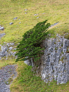 Yew tree (Taxus baccata) growing on limestone outcrop, surrounded by grassland. Yorkshire Dales National Park, England, UK. September 2019.  -  Gary  K. Smith