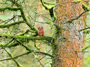 Red squirrel (Sciurus vulgaris) feeding in Pine (Pinus sp) tree. Yorkshire Dales National Park, North Yorkshire, England, UK. September.  -  Gary  K. Smith
