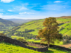 Drystone wall and tree overlooking valley. Swaledale, Yorkshire Dales National Park, England, UK. September 2019.  -  Gary  K. Smith