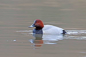 Common pochard (Aythya ferina) on water, Denmark, February  -  Hanne & Jens Eriksen