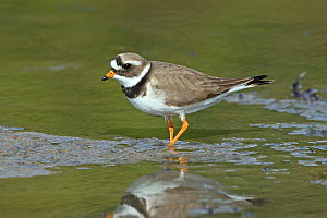 Common ringed plover (Charadrius hiaticula) in shallow water, Norway, May  -  Hanne & Jens Eriksen