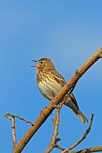 Tree pipit (Anthus trivialis) singing and perched on branch, Denmark, May  -  Hanne & Jens Eriksen