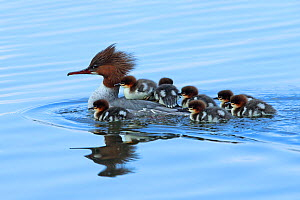 Common merganser (Mergus merganser) female with young on back and around her, Germany, April  -  Hanne & Jens Eriksen