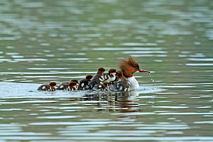 Common merganser (Mergus merganser) female with young on back and following her, Germany, April  -  Hanne & Jens Eriksen