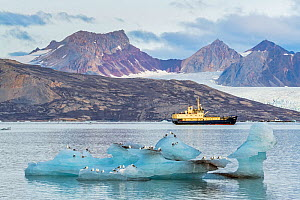MS Freya in the Kongsfjorden. Kittiwakes (Rissa tridactyla) sitting on a large piece of stranded glacier ice. Svalbard, Norway. September.  -  Orsolya Haarberg