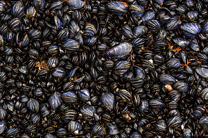 Coastal rocks covered by Blue mussel (Mytilus edulis) shells. Tomma Island, Helgeland Archipelago, Norway.  -  Orsolya Haarberg