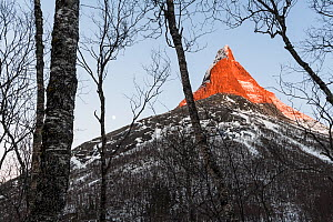Sunlit mountain top and Moon, viewed from a mountain birch (Betula pubescens) forest. Stetinden, Tysfjorden, Nordland, Norway. February.  -  Orsolya Haarberg