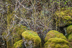 Fresh-green, mossy mountain birch (Betula pubescens) forest in spring. Sula Island, Sogn og Fjordane, Norway. May. - Orsolya Haarberg