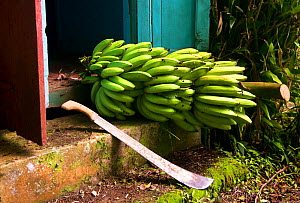 Bananas (Musa accuminata) ripening on the stem, on steps of traditional Caribbean chattel house. Dominica, Eastern Caribbean. August 2017  -  Derek Galon