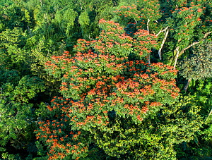 Aerial view of African Tulip tree (Spathodea Campanulata) in full bloom, in tropical forest recovering after hurricane Maria in Dominica, West Indies. March.  -  Derek Galon
