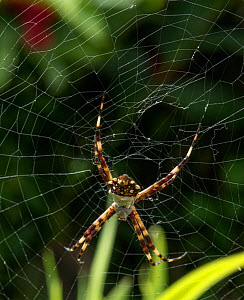 Orb weaver spider (Argiope argentata) female. Dominica, West Indies, Caribbean. October.  -  Derek Galon