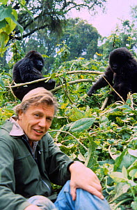 David Attenborough with mountain gorillas, on location during filming for BBC 'Life on Earth' series, 1978.  -  John Sparks
