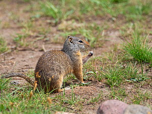 Uinta ground squirrel (Spermophilus armatus) feeding on grass stem, Lamar Valley, Yellowstone National Park, Wyoming, USA, June. - Mike Read