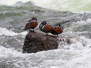 Harlequin duck (Histrionicus histrionicus) three on a rock in the LeHardy Rapids, Yellowstone River, Yellowstone National Park, Wyoming, USA, June. - Mike Read