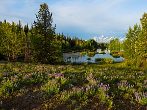 Pool beside the Pilgrim Creek road with Silvery lupine (Lupinus albifrons) in the foreground and the Teton range of mountains beyond, Grand Teton National Park, Wyoming, USA, June 2019 - Mike Read