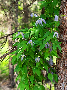 Purple virgin's bower (Clematis occidentalis) growing up a tree, Yellowstone National Park, Wyoming, USA, June. - Mike Read