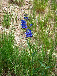 Wasatch penstemon (Penstemon cyananthus) Shell Falls, Shell Canyon, Wyoming, USA, July. - Mike Read
