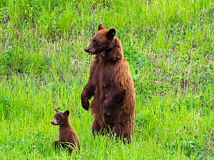 Black bear (Ursus americanus) female with tracking collar and cub, Tower Junction, Yellowstone National Park, Wyoming, USA, June. - Mike Read