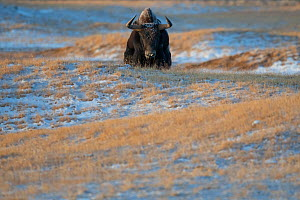 Wild yak (Bos mutu) walking through snow covered steppe. Hoh Xil Nature Reserve, Tibetan plateau, Qinghai, China. October.  -  Staffan Widstrand / Wild Wonders of China