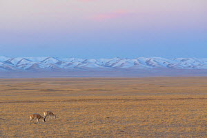 Tibetan antelope (Pantholops hodgsonii), two grazing in steppe at dawn, snow capped mountains in background. Hoh Xil Nature Reserve, Tibetan plateau, Qinghai, China. October 2019.  -  Staffan Widstrand / Wild Wonders of China