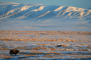 Wild yak (Bos mutus) in snow covered steppe, mountains in background. Hoh Xil Nature Reserve, Tibetan plateau, Qinghai, China. October 2019.  -  Staffan Widstrand / Wild Wonders of China