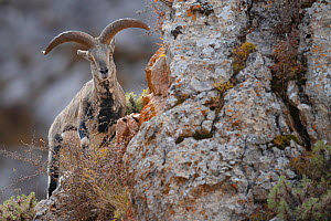 Blue sheep (Ovis nahoor) male. Valley of the Cats, Angsai Nature Reserve, Sanjiangyuan National Nature Reserve, Tibetan Plateau, Qinghai, China. October.  -  Staffan Widstrand / Wild Wonders of China