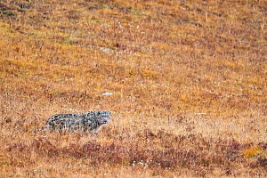 Snow leopard (Uncia uncia) in steppe. Valley of the Cats, Angsai Nature Reserve, Sanjiangyuan National Nature Reserve, Tibetan Plateau, Qinghai, China. October 2019.  -  Staffan Widstrand / Wild Wonders of China