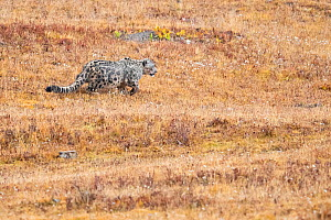 Snow leopard (Uncia uncia) walking through steppe. Valley of the Cats, Angsai Nature Reserve, Sanjiangyuan National Nature Reserve, Tibetan Plateau, Qinghai, China. October 2019.  -  Staffan Widstrand / Wild Wonders of China