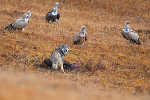 Tibetan wolf (Canis lupus filchneri) scavenging on Yak calf carcass, killed by Snow leopard (Uncia uncia). Himalayan griffon vulture (Gyps himalayensis) group waiting in background. Valley of the Cats...  -  Staffan Widstrand / Wild Wonders of China
