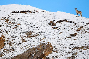 Blue sheep (Ovis nahoor) male on snow covered mountain slope. Valley of the Cats, Angsai Nature Reserve, Sanjiangyuan National Nature Reserve, Tibetan Plateau, Qinghai, China. October.  -  Staffan Widstrand / Wild Wonders of China